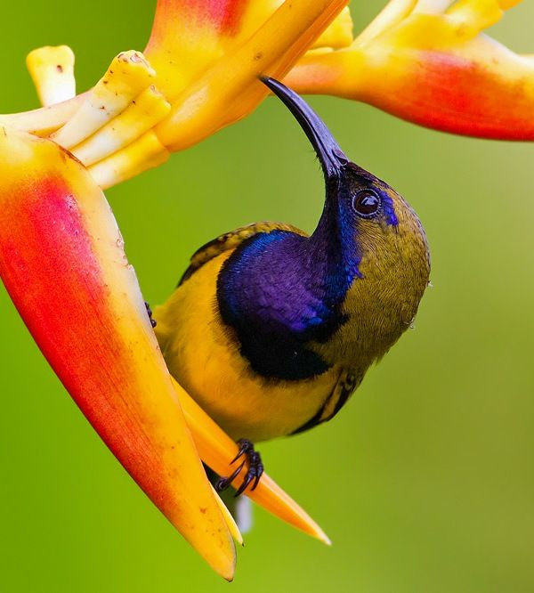 Picture of a sunbird.