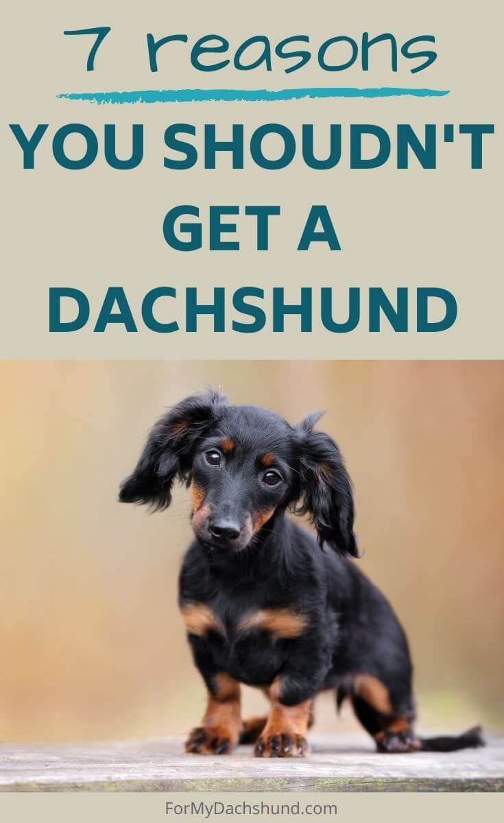 7 Reasons You Shouldn T Get A Dachshund In 2020 Dachshund Adoption Dachshund Pets Dachshund Dog