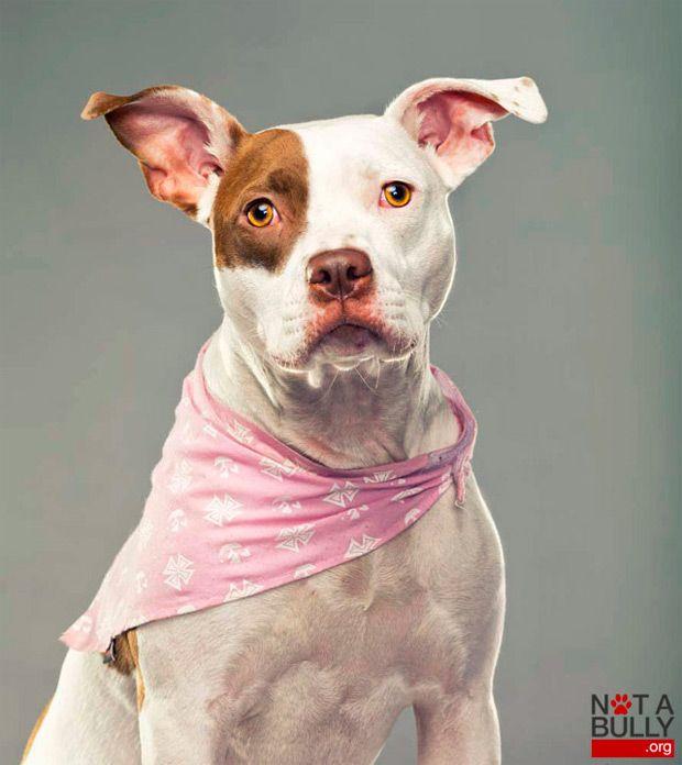 "Not a Bully: Retratos fotográficos de perros ""peligros"