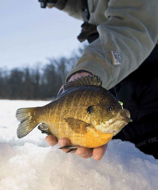 711 best images about hard water fishing on pinterest for Ice fishing bluegill