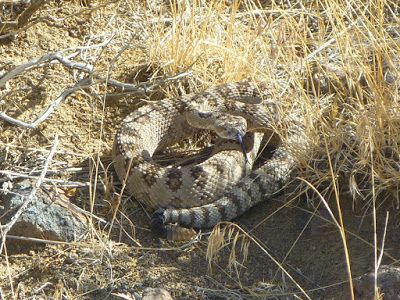Coiled rattlesnake showing her forked tongue
