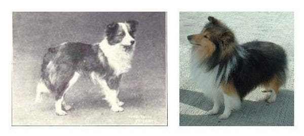 Shetland Sheepdog Sheltie 100 Years Ago And Today Dog Breeds Dogs Breeds