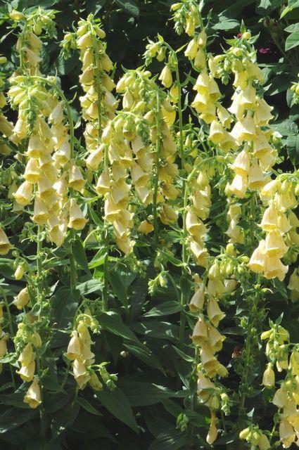 DIGITALIS grandiflora - Fingerbøl, farve: gul, lysforhold: sol/halvskygge, højde: 80 cm, blomstring: juli - august, velegnet til snit, god til bier og andre insekter.