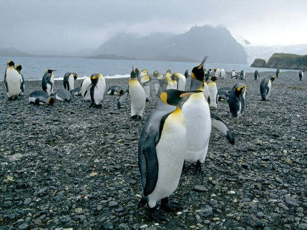 King Penguins, King penguins live on the more temperate islands north of Antarctica. Although their habitat is warmer than that of emperor penguins, king penguins have four layers of feathers and huddle together for warmth.