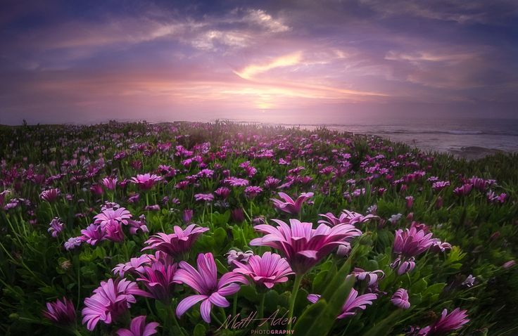 Coastal Flower Field by Matt Aden on 500px