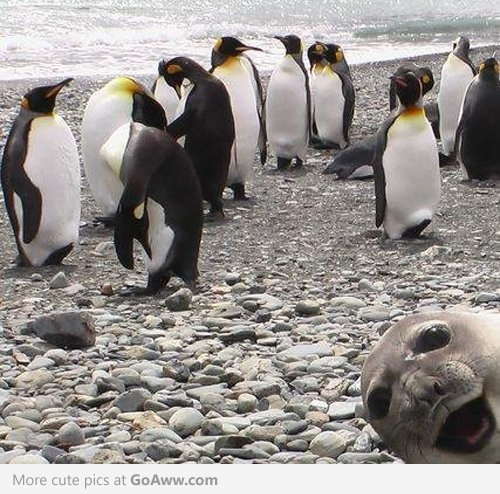 Who needs another boring picture of penguins? ... seal bomb!!! haha