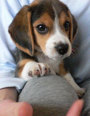 Beagle Puppy | Flickr - Photo Sharing!