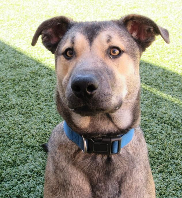 Jammer - URGENT - CITY OF WICHITA FALLS ANIMAL SERVICES in Wichita Falls, TX - ADOPT OR FOSTER - Adult Male Shepherd Mix