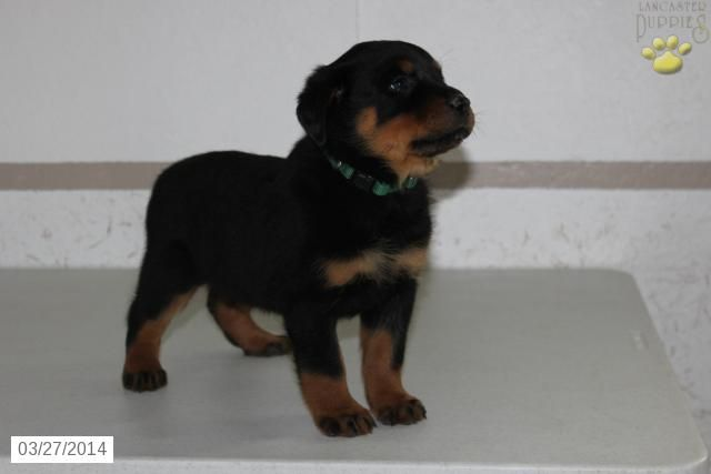 Stacey - Rottweiler Puppy for Sale in Arthur , IL - Rottweiler - Puppy for Sale