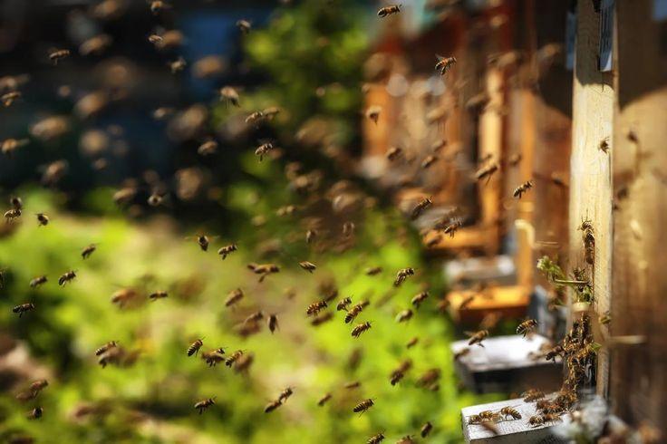 Das große Bienensterben