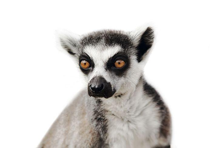 #Madagascar - Project #Voiala - Ring Tailed Lemur - Lemur catta http://www.favini.com/en/enviroment/voiala/project-voiala/ - Share it on Twitter https://twitter.com/favini_en/status/549855164044423168