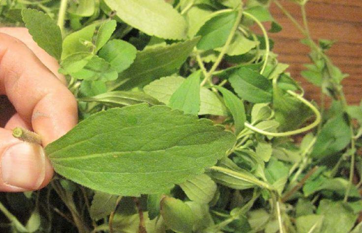 La stevia aide a stopper la cigarette. Nous savons tous que fumer est néfaste pour notre santé. Cependant, arrêter de fumer n'est pas une chose aussi simple que ça. Pour certaines personnes, c'est en effet la chose la plus difficile à f…