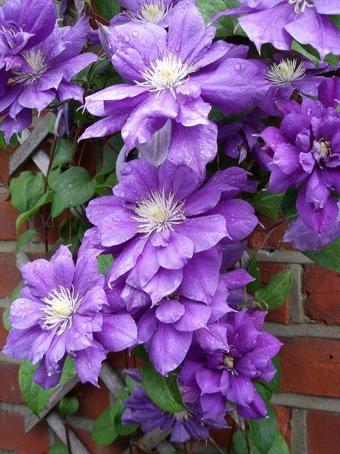 1052 best images about lavender purple lilacs on. Black Bedroom Furniture Sets. Home Design Ideas