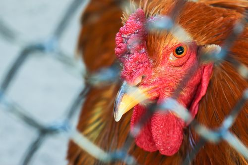 Avian Influenza Prevention Zone Declared http://www.cumbriacrack.com/wp-content/uploads/2016/12/chicken-in-cage.jpg The Government Chief Vet has declared a Prevention Zone introducing enhanced biosecurity requirements for poultry and captive birds    http://www.cumbriacrack.com/2016/12/07/avian-influenza-prevention-zone-declared/