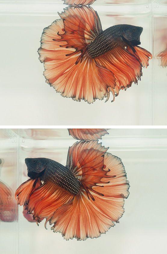 Dark metallic orange... fall betta!