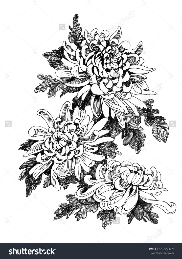 hand drawing chrysanthemum flower vector illustration line pictures pinterest. Black Bedroom Furniture Sets. Home Design Ideas