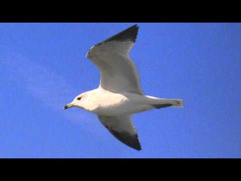 Seagull Sounds at the Ocean - YouTube