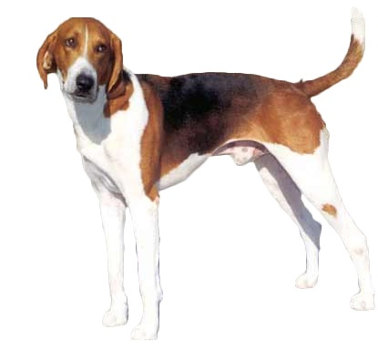 American Foxhound:   The American Foxhound is bred to run. Foxhound owners need to make a commitment to ensure that their dogs get enough exercise.