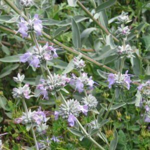 Salvia apiana - White Sage = smudging sage