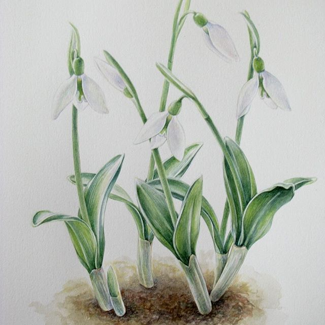 Snowdrops, Galanthus Lady Moore Preparatory study