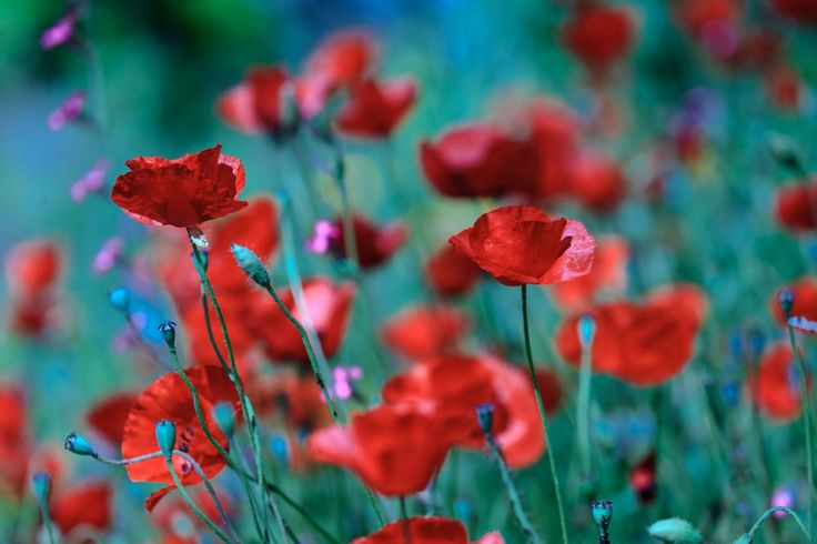 Poppies by Uri Baruch on 500px