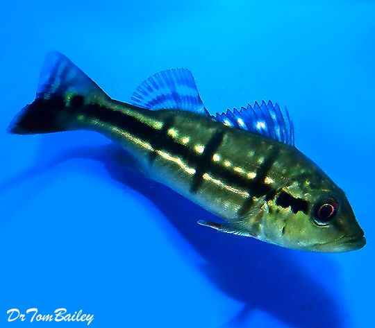 Peacock Bass Cichlid, Featured item. #peacock #bass #cichlid #fish #petfish #aquarium #aquariums #freshwater #freshwaterfish #featureditem