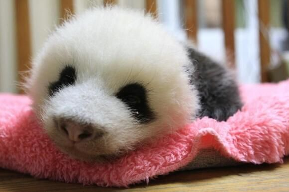 Quelle truffe ce bébé panda ! Lire plus sur : http://www.chine-informations.com/actualite/pandas-les-photos-les-plus-craquantes_66248.html