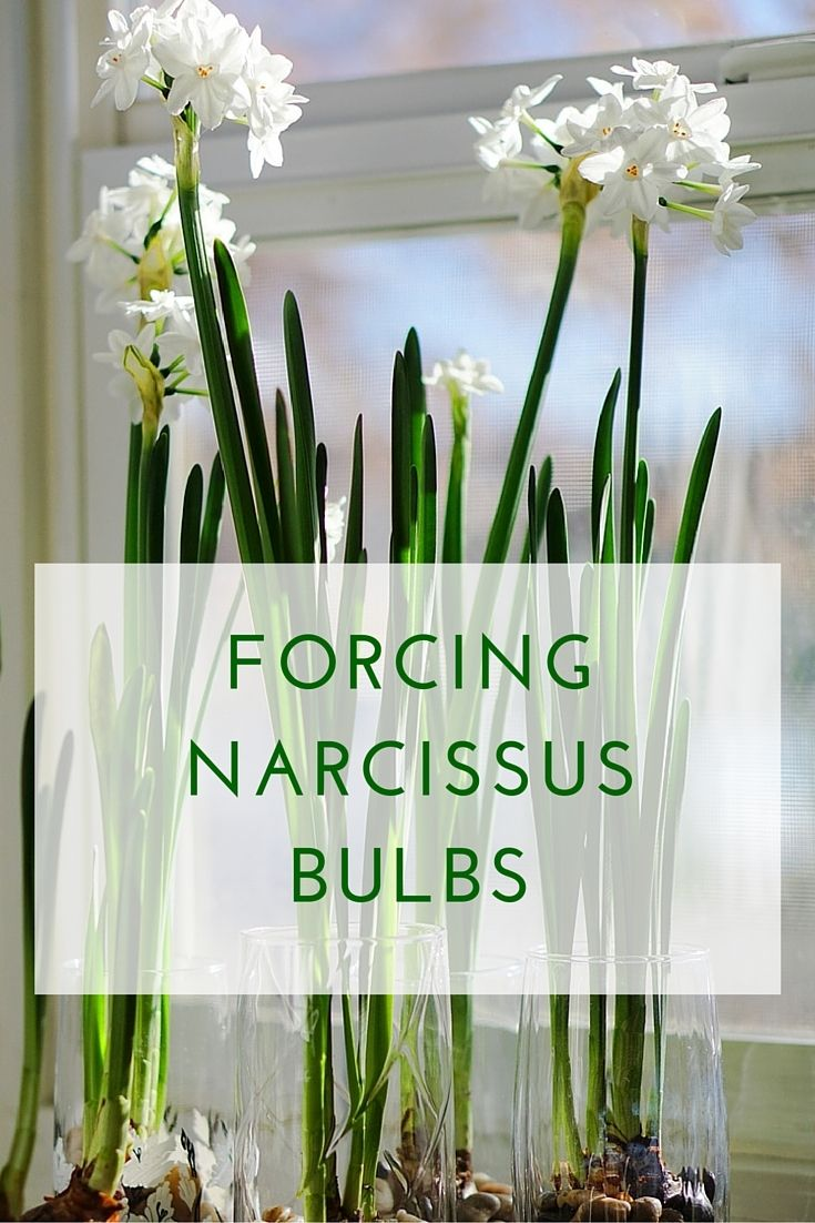 Forcing Narcissus Bulbs is so easy and brings fragrance and beauty into your home in darker winter months.