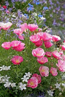 PINK, LAVENDER AND WHITE;  Eschscholzia california 'Rose Chiffon' and Penstemon