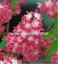 Deutzia STRAWBERRY FIELDS