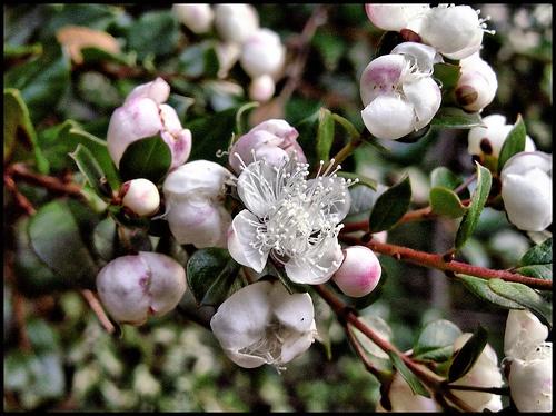 Flor del Arrayán (Luma Apiculata)