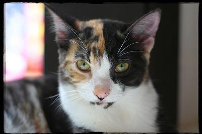 Meet the cat: MAYA - a calico cat - photo by fofurasfelinas (Flickr) #Behaviour - More about Cat Behaviour at Catsincare.com!