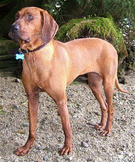 The Redbone Coonhound was bred in the 19th-century United States to hunt raccoons.  It can be surprisingly affectionate with children and is suited to any climate, but not to urban living, where it will not get the needed exercise.