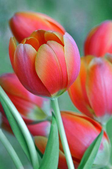 bellasecretgarden:  ~~Spring Tulips by Heather Wade~~