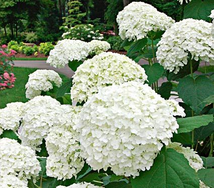 Hydrangea arborescens Incrediball™  An amazing improvement of the well-known Hydrangea arborescens 'Annabelle', this Mophead has flower heads four times the size on sturdy stems that don't flop. Blooms progress from lime green to white and back to green. Incrediball™ truly adds heft to bouquets, fresh or dried. A Proven Winners®/Color Choice® variety. 'Abetwo' PPAF