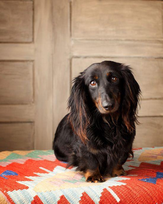 Long Haired Dachshund Dog Photography Long Haired Dachshund