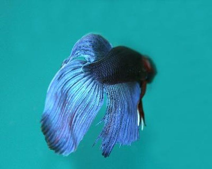 How to Cure Tears in a Betta Fish's Fin | Cuteness.com