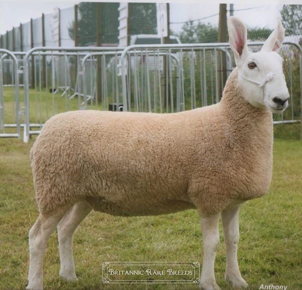 Hardy Sheep Breeds | Border Leicester - Sheep breeds | Britannic Rare Breeds