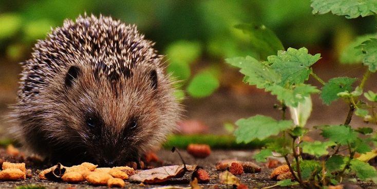 when do hedgehogs hibernate