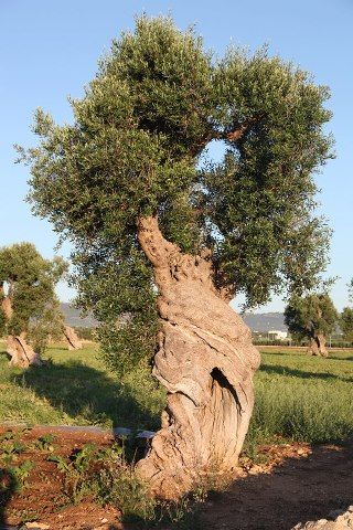 majestic olive tree                                                       …