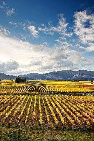 autumn in the vineyard - Renwick, Marlborough, New Zealand