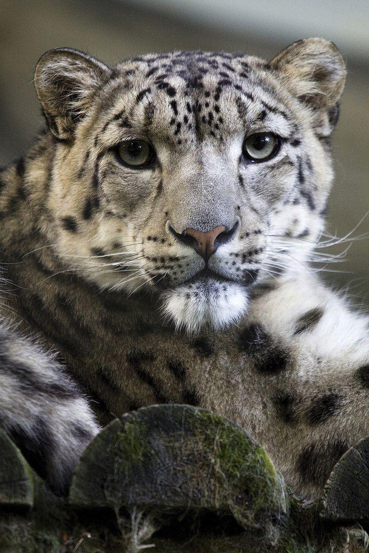 Snow Leopard                                                                                                                                                                                 Mehr