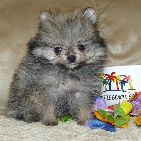 teacup pomeranian life expectancy 1000 images about pomeranian on pinterest what is this 1789