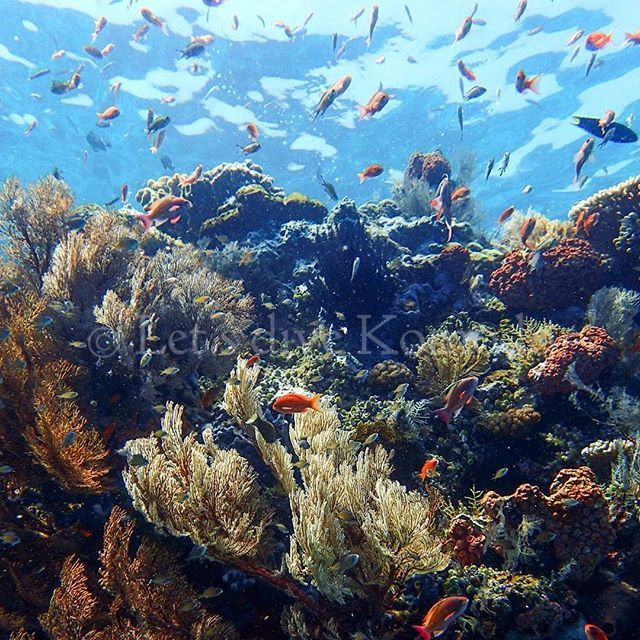 Beautiful reef and rich corals #indonesia #flores #komodo #labuanbajo #beautiful #reef #rich #coral #colors #healthy #beautifulindonesia #scuba #livetoscuba #scubadiving #underwaterphotography #olympus #instapic #instadive #instadaily