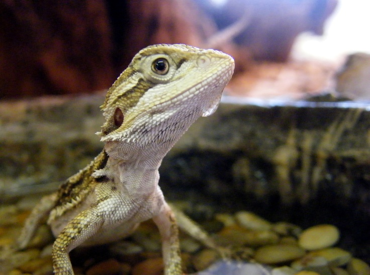 Baby bearded dragon having a drink at Northampton Reptile Centre I will have one one day! they are amazing!