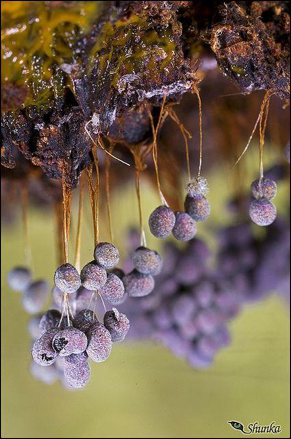 Badhamia utricularis--slime mold