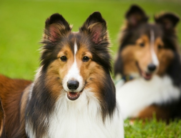 Origin    Hailing from the Shetland Islands just off of Scotland, the Shetland Sheepdog was developed as a miniature Collie. Originally the Collies of Scotland were medium-sized dogs, and presumably the smaller versions of these were bred to create the Sheltie.