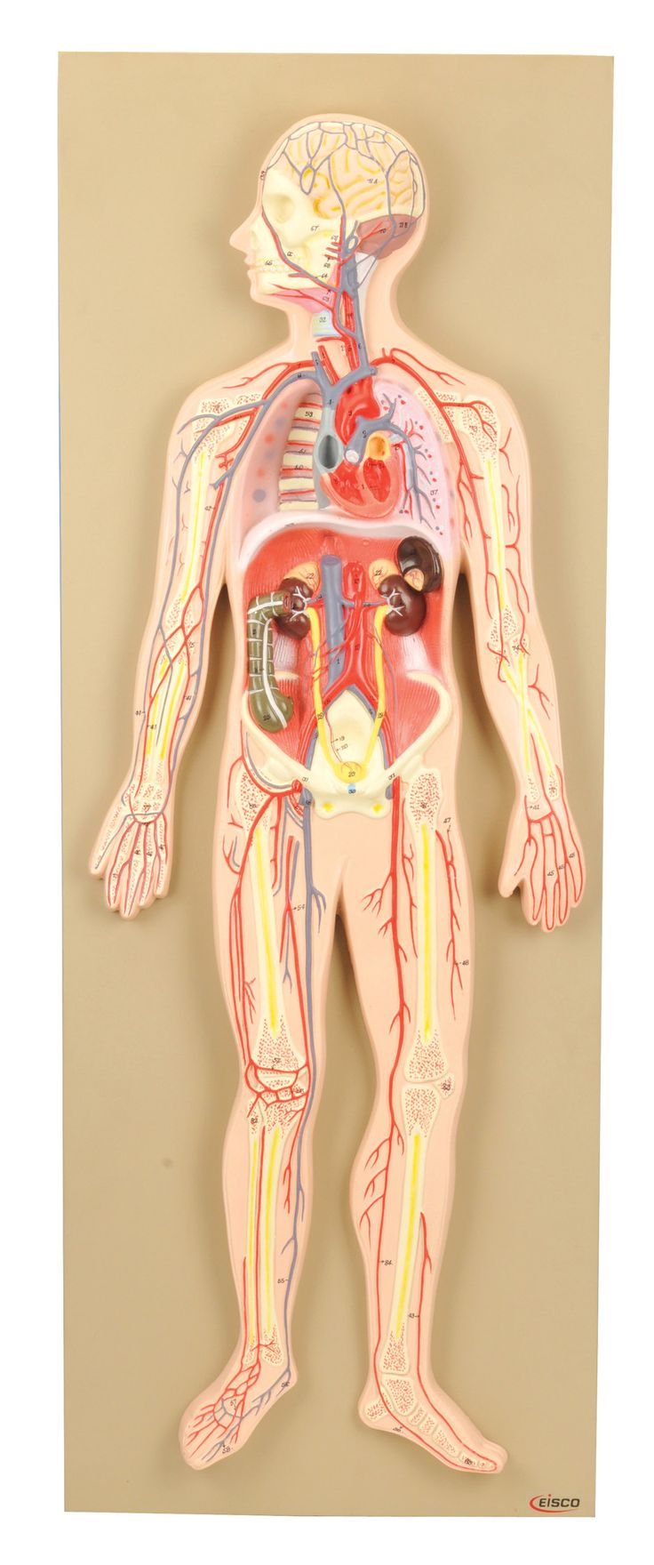 25 best Human Body Systems images on Pinterest   Human anatomy ...