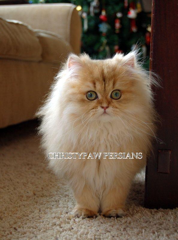 Reputable Missouri Persian Cat Breeder Christypaw Persians Persian Kittens Persian Cat Breeders Cats