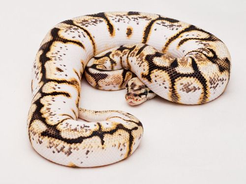 ball python morphs - Google Search